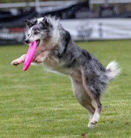 Cani e frisbee